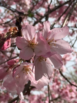 Cherry Blossoms in full bloom!